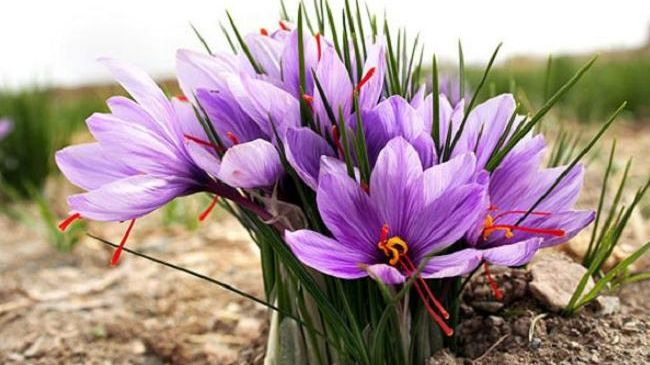 Spain is The Largest Importer of Iranian Saffron
